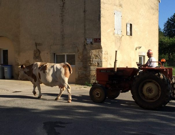 Bernard met een koe